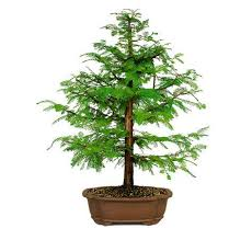 56 best products images on bonsai trees for sale