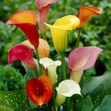 callalily flower perennial calla flower bulbs garden plants flowers