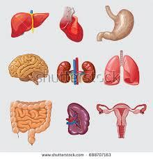Cartoon Human Anatomy Cartoon Human Organs Set Liver Pancreas Stock Vector 613540472