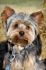 9 best yorkie haircuts images on pinterest yorkie haircuts