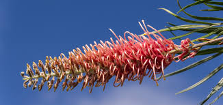 native australian flowering plants free images tree nature branch leaf flower bloom red