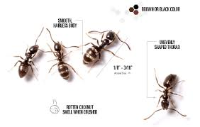 Bed Bugs Smell Odorous Ants Odorous House Ant Control U0026 Identification Orkin Com
