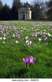 field of crocuses in bloom at royal botanic gardens kew london
