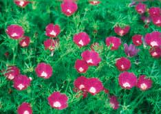 native herbaceous perennials for colorado landscapes 7 242