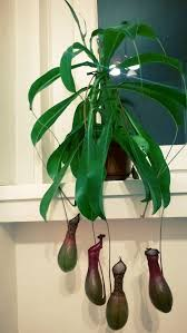 Plants That Dont Need Sunlight by How To Grow Pitcher Plants 9 Steps With Pictures Wikihow
