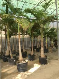 palmfarm catalogue palm trees for sale in spain in europe and