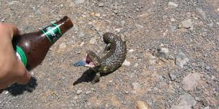 Reptile Memes - the drunk friday lizard meme is ready for the weekend