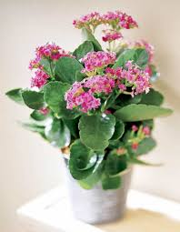 pink kalanchoe houseplant in the small pot pretty flowering