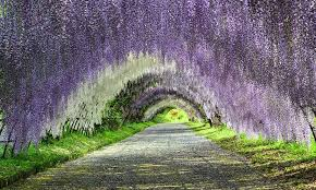 japan flower tunnel a trip to a fantastical world full of wisteria flowers japan