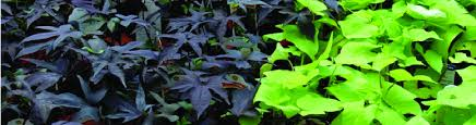 the advantages of growing ornamental sweet potato vine newpro