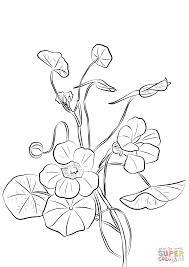 amazing printable nasturtium flowers coloring books for kids