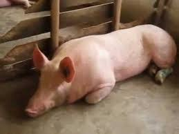 Backyard Pig How To Start A Piggery From Your Backyard And Turn It Into A