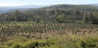 Christmas Tree Farm Va - yes virginia there is a charlie brown christmas tree farm and