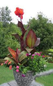 Cana Lilly 17 Best Canna Lilly Images On Pinterest Canna Lily Garden Ideas