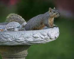 riverside city solves squirrely problem with ok to kill trap