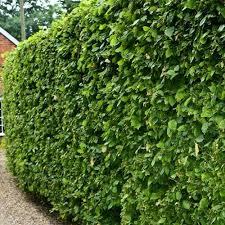 native hedging plants uk gardenersdream carpinus betulus 60 90cm 2 3ft bare root hornbeam