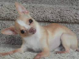 chihuahua raw food diets puppy senior dogs