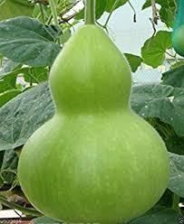 25 seeds shark fin squash melon malabar gourd seven