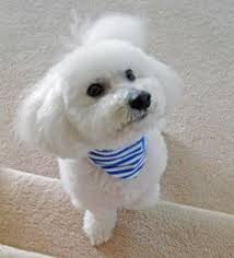 bichon frise puppy cut bichon frise breed info pictures characteristics hypoallergenic