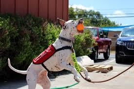 american pitbull terrier jumping january 2017