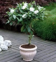 amazon com cape jasmine shrub gardenia flower seeds showy