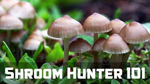 shroomhunter 101 identify wild magic mushrooms psilocybin youtube