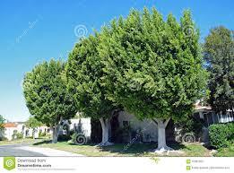 a trio of ficus trees in laguna woods california stock