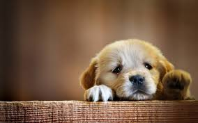 Cute Dog Wallpapers | dog wallpapers hd puppy wallpaper free dog wallpapers