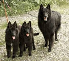belgian sheepdog and cats 37 best belgian sheepdog images on pinterest friends ps and