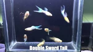 types of aquarium most beautiful types of guppy u0027s tail forms guppy species youtube