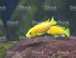 lemon cichlid tropical fish cute in fish tank stock photo