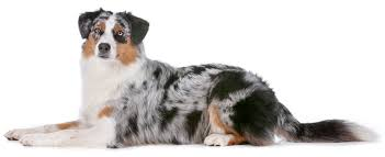 australian shepherd wolf view topic we u0027ll survive wolf u0026 dog rp open and accepting