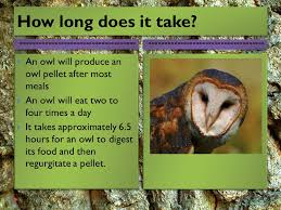 the barn owl the barn owl is found all over america ppt video