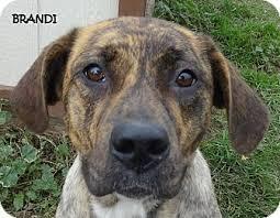 afghan hound poodle cross brandi plott hound mix cute adopted dog 4773 lapeer mi