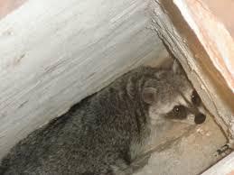 ringtail cats raccoons coatis and skunks sonoran wildlife