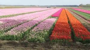 Netherlands Tulip Fields Tulip Festival Noord Oost Polder The Netherlands Youtube