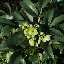 buy corsican hellebore helleborus argutifolius delivery by