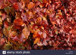 golden red and orange colours of a european beech hedge in autumn