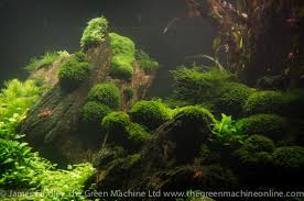 Most Beautiful Aquascapes Hemianthus Callitrichoides U0027cuba U0027 An Article About The Most