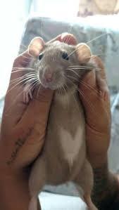 mobile upload dumbo rat rat rat rats