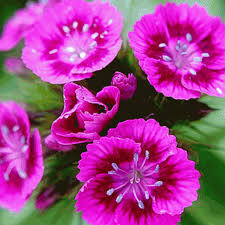 dianthus flower dianthus barbatus sweet william wildflower seed