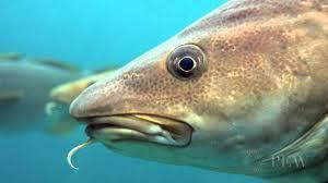 Minyak Ikan Tara Kid nunki manies s minyak ikan cod adalah makanan alami yang