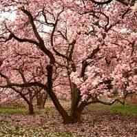 buy saucer pink japanese magnolia tree saucer pink japanese