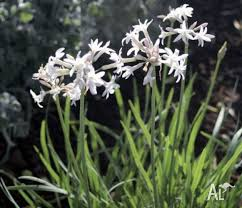 society garlic plants for sale white flowering variety for sale
