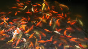 brocaded carp koi fish feeding in a pond nishikigoi ornamental