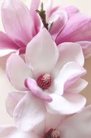 magnolia flowers magnolia blossoms pinteres