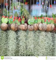 spanish moss in hanging pot stock photography image 38370102