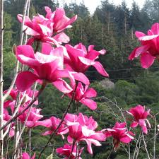 magnolia vulcan buy pink purple tulip magnolia tree magnolias