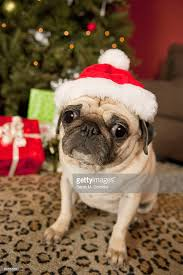 pug in santa claus hat sitting on carpet tree and