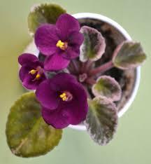 Miniature Indoor Plants by Robs Macho Devil Semi Miniature African Violet Plant Flowers
